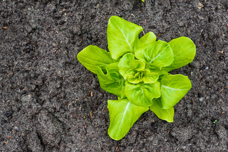Closeup of a recently planted Butterhead lettuce plant in the fertile soil of a small organic Dutch vegetable nursery. photo