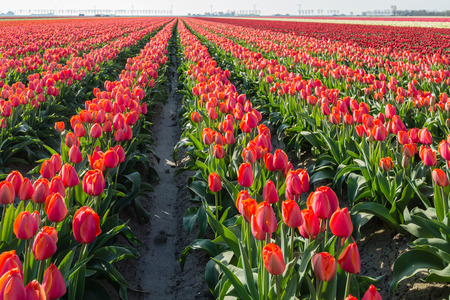 grower: Red flowering tulips in tall plant beds in the field of a Dutch bulb grower.