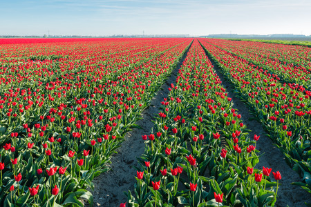 grower: Red blooming tulips in tall plant beds in the field of a Dutch bulb grower.