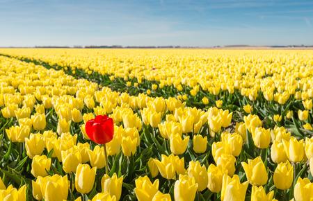 Markante rote Blüte Tulpe unterscheidet sich stark von den vielen gelb blühende Tulpen im großen Feld eines Tulpenzüchter.