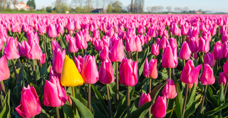 differs: Conspicuous yellow flowering tulip differs greatly from the many pink blooming tulips in the large field of a Dutch bulb grower at the edge of a small village.
