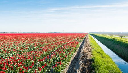 grower: Almost endless field with red colored blooming tulips on the field of a Dutch bulb grower. Beside the field is a ditch with water.