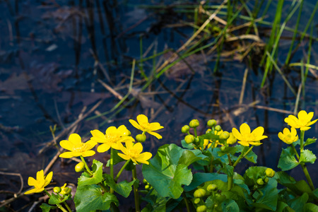 swampy: Closeup of yellow blooming and budding Kingcup or Caltha palustris in its own swampy habitat.