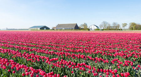 Red flowering tulips at the field of a Dutch bulb nursery on a sunny day in the spring season. photo