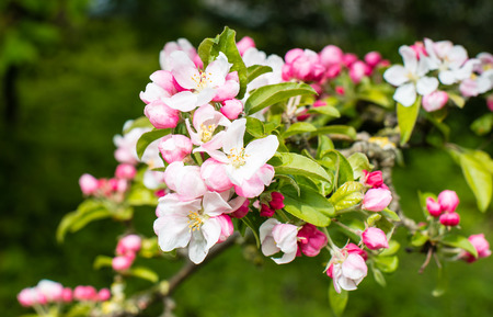Closeup of blossoms and buds of a crabapple tree in the early spring season. Stock Photo