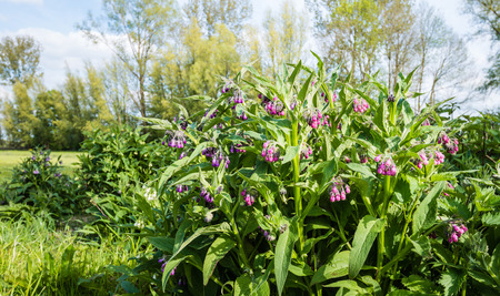 Closeup of purple and pink blooming common comfrey or Symphytum officinale plants in their own natural habitat in the early spring season.