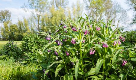 symphytum officinale: Primo piano di viola e rosa in fiore consolida comune o Symphytum officinale piante nel loro habitat naturale nella stagione primavera. Archivio Fotografico