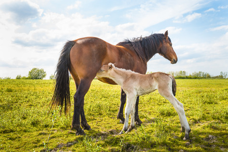 Mare let her young foal drinking milk. Backlit picture at the end of a sunny spring day. photo