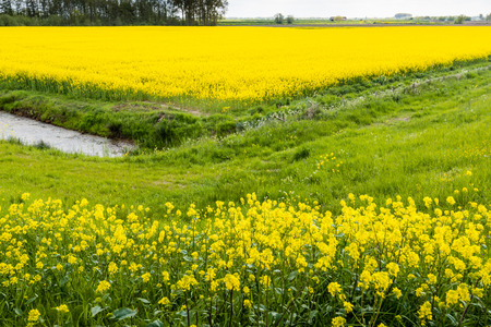 Picturesque landscape with yellow blooming wild radish in the foreground and a whole field of yelllow blooming rapeseed in the background. photo