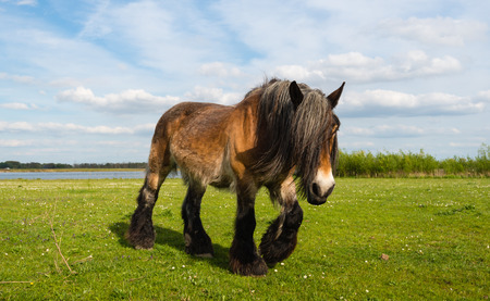 Belgian horse with long manes and hairy legs walking on the grass on a sunny day in springtime.