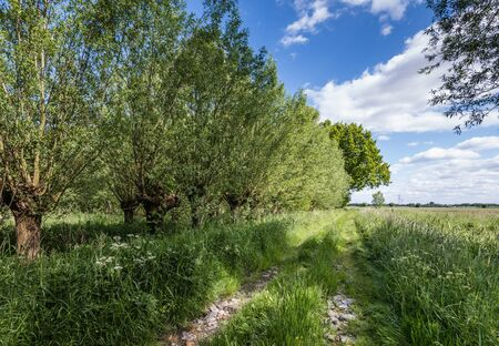 pollard willows: Path with cart tracks in a small nature reserve with flowering wild plants during the spring season. Stock Photo