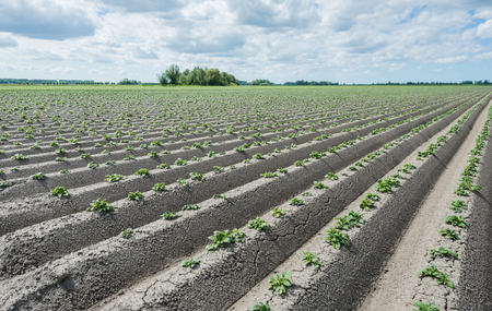 seemingly: Long seemingly endless converging ridges of dray clay with young and small fresh green potato plants of newly sown potatoes. It is spring now.
