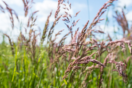 anther: Closeup of pink flowering species of grass with anther dust causing hay fever and sneezing.