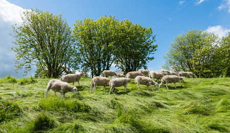 graze: Group newly shorn sheep walks and eats at the top of the dike between the long grass. It is spring again.