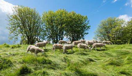 pecora: Gruppo appena tosata passeggiate pecore e mangia in cima alla diga tra l'erba alta. E 'di nuovo primavera.