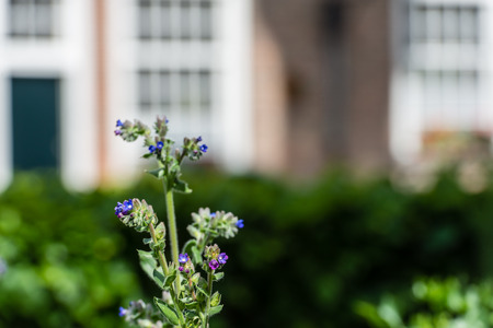 attributed: Blue flowering Anchusa officinalis or common bugloss in the herb garden of a Dutch beguinage.  Different medicinal properties are attributed to the plant.