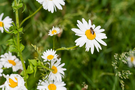 hearted: Honey bee sucks nectar from a yellow hearted white oxeye daisy blooming in its natural habitat on a sunny day in spring. Stock Photo