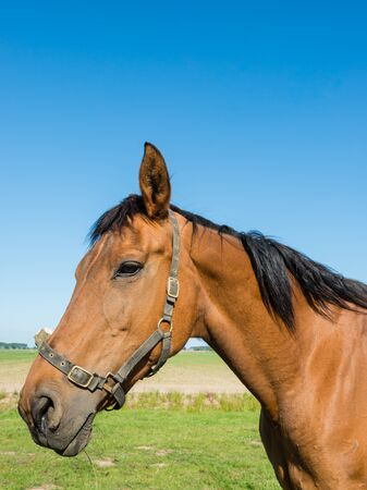 vigilance: Portrait of a brown horse with black mane and a bridle with erect ears signifying vigilance and attention. Stock Photo