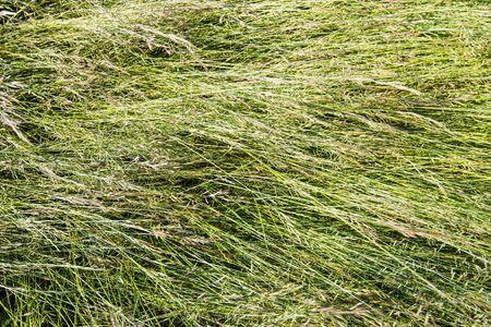 blown: Closeup of blown tall blades of grass with grass seed
