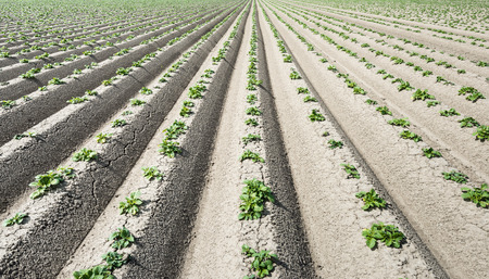 seemingly: Long seemingly endless converging ridges with young and small fresh green potato plants of newly sown potatoes. It is spring now.