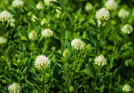 cream colored: Cream colored flowers of a Sulphur clover or Trifolium ochroleucon plant from close in the spring season.