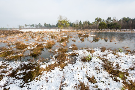scots pine: The water in the fen in the nature reserve is frozen and the heather and other plants are covered with a layer of snow.