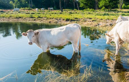 windless: White cow standing in the water on a sunny and windless day in summer.