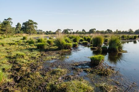 swampy: Dutch nature reserve with a swampy area early in the morning in the summer season.