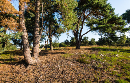 scots pine: Early in the morning on a sunny day in a landscape with woods and heathland. On the ground pine cones fallen from the Scots pine tree in the foreground. Stock Photo