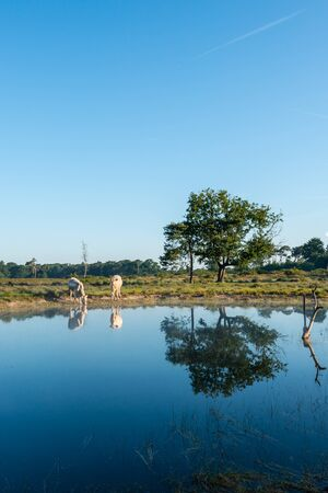 swampy: White cows and trees reflected in the mirror-smooth water of a fen in a swampy natural area early in the morning on a sunny day in the summer season.