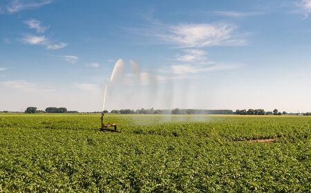 intermittent: Irrigation of a potato field with an intermittent mobile irrigation system on a warm and sunny day in the summer season. Stock Photo