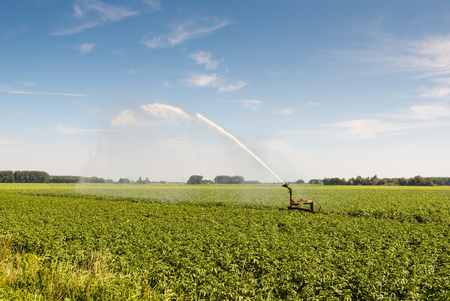 Irrigation of a potato field with an intermittent mobile irrigation system on a warm and sunny day in the summer season. Archivio Fotografico
