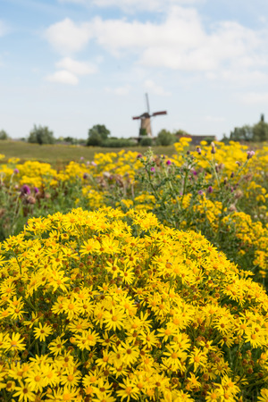 willy: Polder landscape in the Netherlands with varied and colorful flowering wild plants in the foregrounds and and old mill in the background.