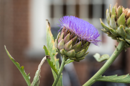 cardunculus scolymus: Closeup of a globe artichoke or Cynara cardunculus plant vilolet flowering In the courtyard garden of a historic Dutch beguinage. Stock Photo