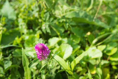 trifolium: Closeup of a red blooming clover or Trifolium pratense plant in its natural habitat.