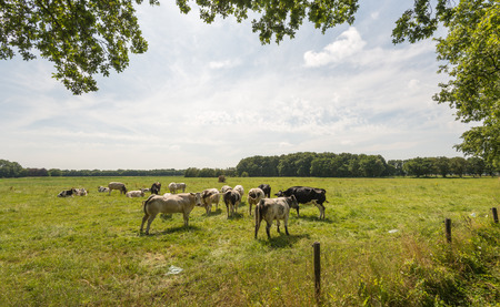 fencepost: Rural area in the summer season with peacefully grazing cows in backlit