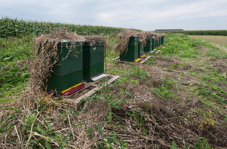planta de maiz: Con planta seca se encuentra limitado colmenas de abejas pintadas verdes en una fila a lo largo de un campo con la maduración de forraje plantas de maíz.