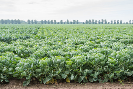 Long rows of young Brussels sprout plants on a cloudy day in the summer season.