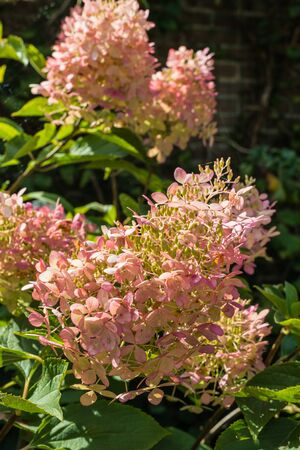 discolored: The originally white flower heads of the panicled hydrangea or Hydrangea paniculata shrub are at the end of the summer season discolored to a pretty soft pink color.