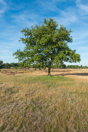 soltería: Lone tree in a Dutch National Park in low sunlight early in the morning at the end of the summer season.