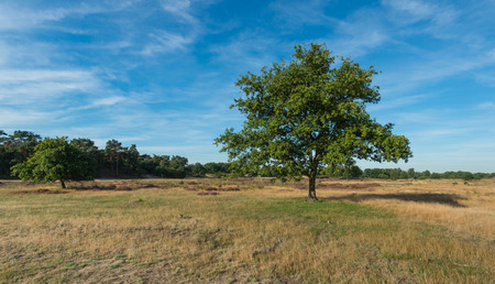aloneness: Lone tree in a Dutch National Park in low sunlight early in the morning at the end of the summer season.