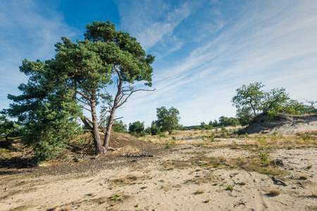 scots pine: Scotch pine trees in a sandy area of a Dutch National Park. Its is early in the morning on a sunny day at the end of the summer season. Stock Photo