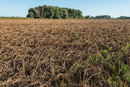 De aardappel blad is verdord en de oogst van de aardappelen kan nu beginnen. Het is een zonnige dag aan het begin van de herfst. Stockfoto - 46447405