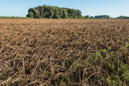 a crop: The potato foliage is withered and harvest the potatoes can start now. It is a sunny day at the beginning of the fall season.