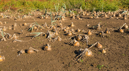 disadvantaged: The field was flooded and the onions have become unusable. They are now rotting and the farmer is very disadvantaged by the great damage.