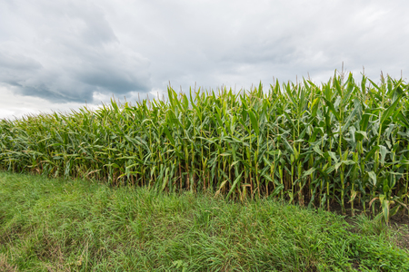 threatening: At the edge of a field of green maize plants. The corn is almost ready to be harvested. Above the field are threatening clouds.