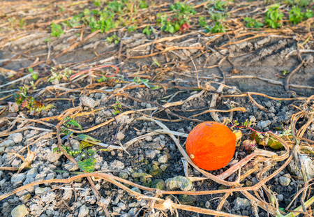 left behind: After harvesting of the pumpkins one small not quite perfect orange pumpkin is left behind between the withered plants in the field. Stock Photo
