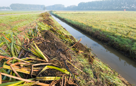 Plant remains lying on the shore after the mandatory periodic maintenance of the ditch in order to ensure the necessary water flow in the agricultural polder. Its early in the morning and the grass is still dewy.