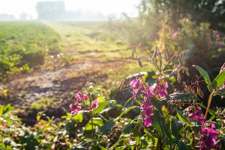 gnomos: Imagen retroiluminada de brotación y floración rosa perchero o Impatiens glandulifera plantas de Gnome salvaje en un paisaje rural temprano en la mañana en un día soleado en otoño. Foto de archivo