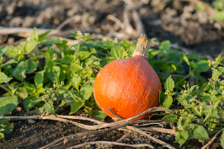 insufficient: After harvesting of the pumpkins one small not quite perfect orange pumpkin is left behind between the green weds and the withered pumpkin plants in the field of the organic pumpkin nursery.